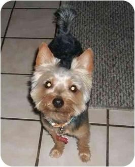 Yorkie, Yorkshire Terrier Puppy for adoption in Ocala, Florida - Huey