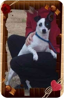 Rat Terrier/Chihuahua Mix Dog for adoption in Spring Valley, New York - Jack