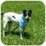 Photo 4 - Rat Terrier Dog for adoption in Portsmouth, Rhode Island - Jack