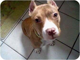 Pit Bull Terrier Mix Puppy for adoption in Greendale, Wisconsin - Katy Grace