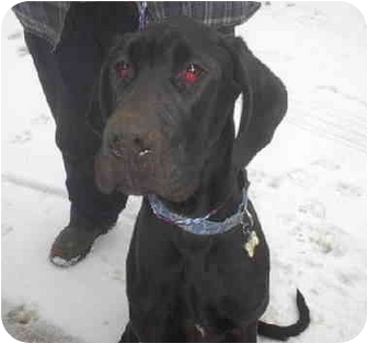 Great Dane Puppy for adoption in Ortonville, Michigan - Marley - HELP