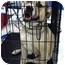 Photo 1 - Mastiff/Boxer Mix Dog for adoption in Warren, Michigan - Bradley