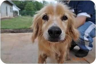 Benni Adopted Dog Raleigh Nc Golden Retriever Cocker Spaniel Mix