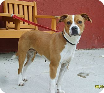 American Staffordshire Terrier/Pit Bull Terrier Mix Dog for adoption in Austin, Minnesota - Bess