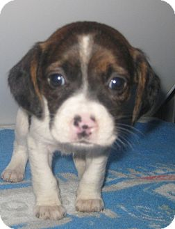 Basset Hound/Boxer Mix Puppy for adoption in Chicago, Illinois - Penelope*ADOPTED!*