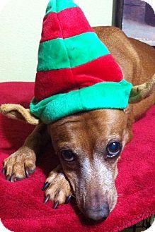 Miniature Pinscher Dog for adoption in Davie, Florida - Carson