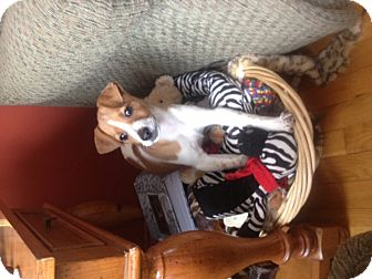 Beagle/Jack Russell Terrier Mix Puppy for adoption in Wanaque, New Jersey - freya