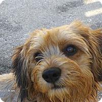 Adopt A Pet :: Muffin - Jacksonville, FL