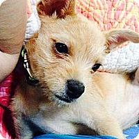 Adopt A Pet :: Cappucino! - Grafton, OH
