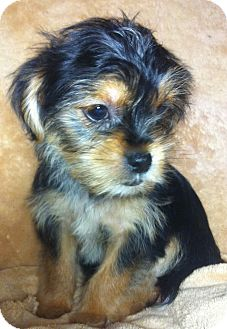 Yorkie, Yorkshire Terrier/Shih Tzu Mix Puppy for adoption in Somers, Connecticut - Naomi