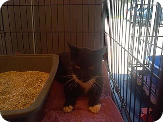 Domestic Shorthair Cat for adoption in Zolfo Springs, Florida - Jazzy