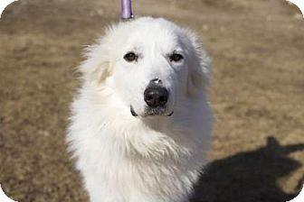 Great Pyrenees Mix Dog for adoption in West Allis, Wisconsin - Leroy