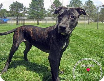Pit Bull Terrier Mix Dog for adoption in Sidney, Ohio - Cece