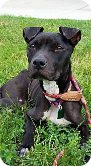 American Pit Bull Terrier Mix Dog for adoption in New York, New York - Luna