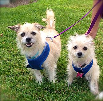 Terrier (Unknown Type, Small)/Cairn Terrier Mix Dog for adoption in Van Nuys, California - Rusty & Princess