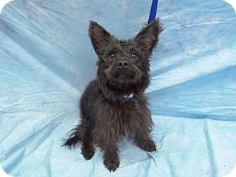 Terrier (Unknown Type, Small) Mix Dog for adoption in Hawthorne, California - Puff