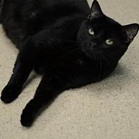 Domestic Shorthair Cat for adoption in Atlanta, Georgia - Jimmy Carter 151285