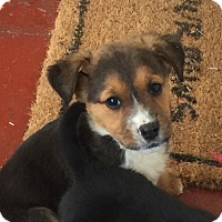 Adopt A Pet :: Averie - Richmond, VA