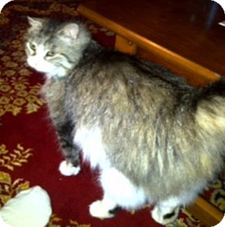 Domestic Longhair Cat for adoption in East Stroudsburg, Pennsylvania - Sable