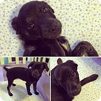 Adopt A Pet :: Violet - Los Angeles, CA