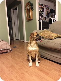 Boxer/Labrador Retriever Mix Dog for adoption in Waynesboro, Tennessee - Patrerson