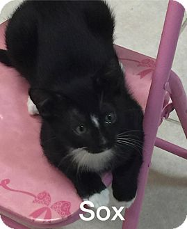 Domestic Shorthair Kitten for adoption in Phoenix, Arizona - Soxs