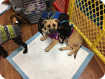 Chihuahua/Shepherd (Unknown Type) Mix Puppy for adoption in Garner, North Carolina - Noel