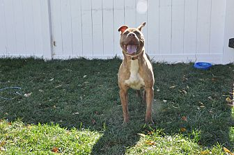 Pit Bull Terrier Mix Dog for adoption in Poughkeepsie, New York - Sandy