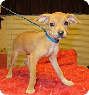 Dachshund/Beagle Mix Puppy for adoption in Hagerstown, Maryland - Dolly