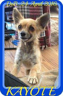 Chihuahua Dog for adoption in Jersey City, New Jersey - KAYOTE