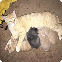 Adopt A Pet :: Clementine - Winston-Salem, NC