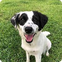 Adopt A Pet :: Dotti - Allen, TX