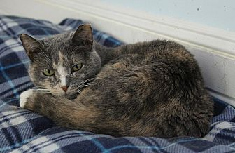 Calico Cat for adoption in Middletown, New York - Jilly