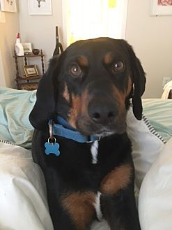 Black and Tan Coonhound Mix Dog for adoption in Silver Spring, Maryland - Chester