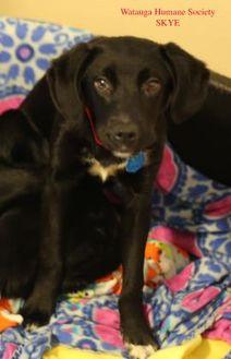 Labrador Retriever Mix Dog for adoption in Boone, North Carolina - Skye