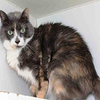 Adopt A Pet :: SHAWNEE - Hampton Bays, NY
