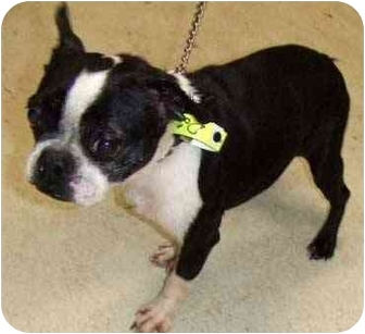 Boston Terrier Dog for adoption in Greensboro, North Carolina - Aggie