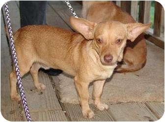 Chihuahua Mix Dog for adoption in Hagerstown, Maryland - Nod ($100 off)