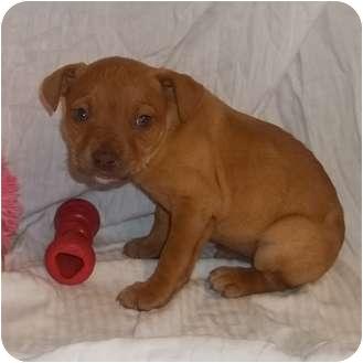 English Bulldog/Labrador Retriever Mix Puppy for adoption in Bel Air, Maryland - Duffy