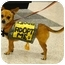 Photo 1 - Chihuahua Mix Dog for adoption in Sacramento, California - Walker 6 pounds, needs foster