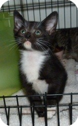 Domestic Shorthair Kitten for adoption in Stafford, Virginia - Toby