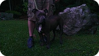 American Pit Bull Terrier Mix Dog for adoption in Roaring Spring, Pennsylvania - Lincoln