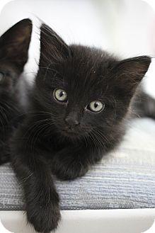 Domestic Mediumhair Kitten for adoption in Chino Valley, Arizona - Tootles
