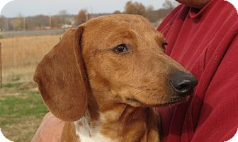 Dachshund Dog for adoption in Greenville, Rhode Island - Alexandria