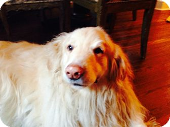 Golden Retriever Dog for adoption in New Canaan, Connecticut - Rocket