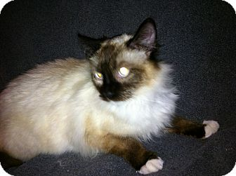 Birman Cat for adoption in Tracy, California - Abree-ADOPTED!