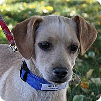 Adopt A Pet :: Willie R - Broomfield, CO
