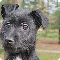 Adopt A Pet :: Buttons - Brattleboro, VT