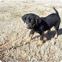 Adopt A Pet :: Barclay Bear - Adamsville, TN