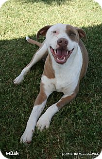 Pit Bull Terrier Dog for adoption in Patterson, California - Mitch